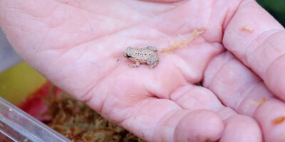 A head-start for WA's rarest frogs
