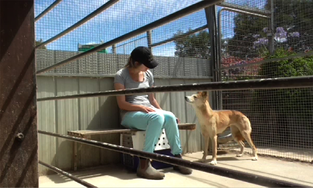 Have you ever wondered why dogs often make eye contact with people? A new study suggests Australian Dingoes may help understand how this behaviour evolved.