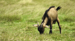 Goat grass helps feed the world