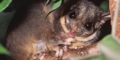 These Australian animals might soon be gone