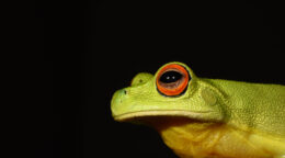 Amphabulous frogs face fire