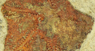 … the oldest starfish-like creature ever discovered . Credit: Collection of Yale University